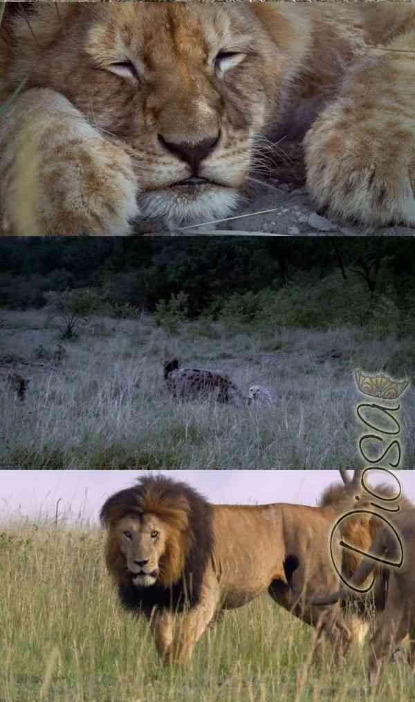 """""""Felinos de Africa DVDRip"""""""